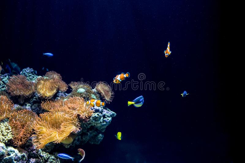 Clownfish et actinies dans leur habitat naturel photos libres de droits