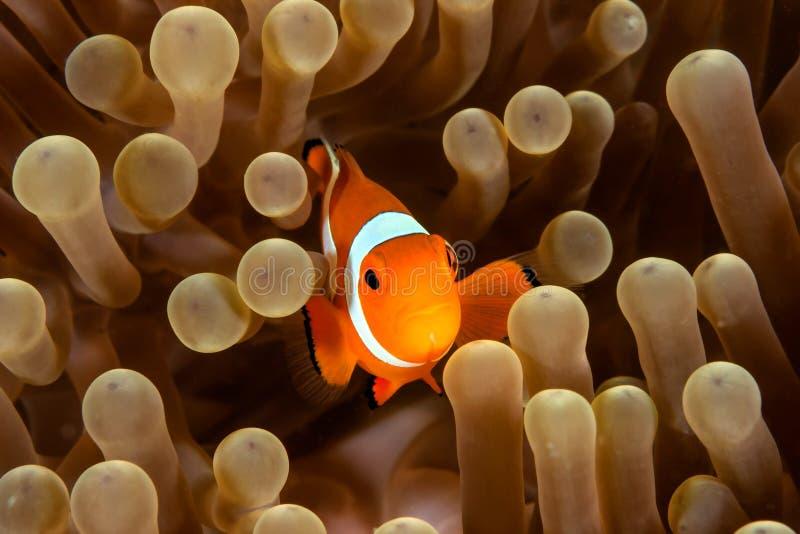 Clownfish et anémone image libre de droits