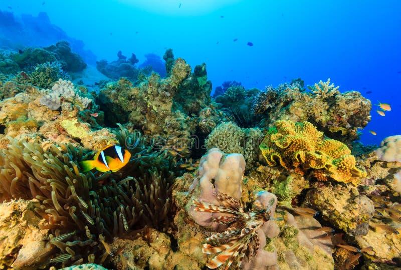 Clownfish et une natation de Lionfish autour d'un récif coralien coloré image libre de droits