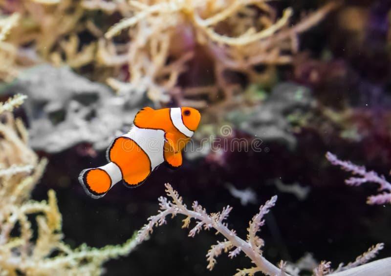 Clownfish faux communs de percula également connus sous le nom d'anemonefish de clown, nageant dans l'eau photo libre de droits
