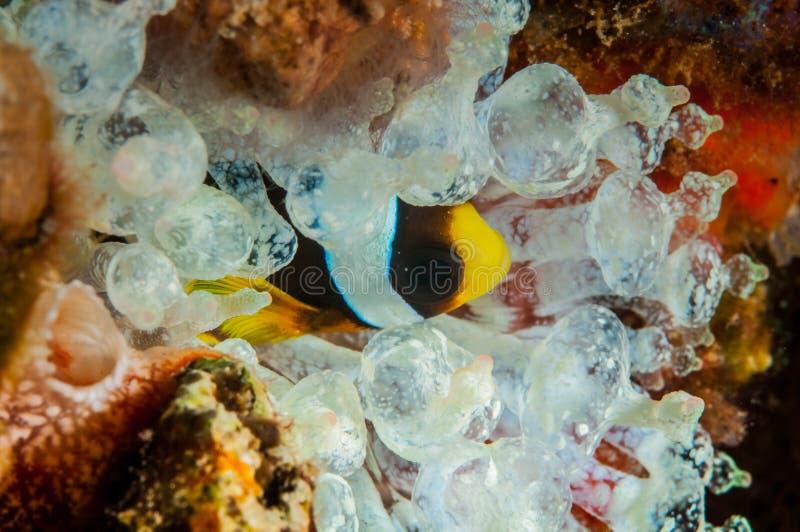 Clownfish het verbergen binnen de bol-tentakel anemoon in Banda, de onderwaterfoto van Indonesië royalty-vrije stock fotografie