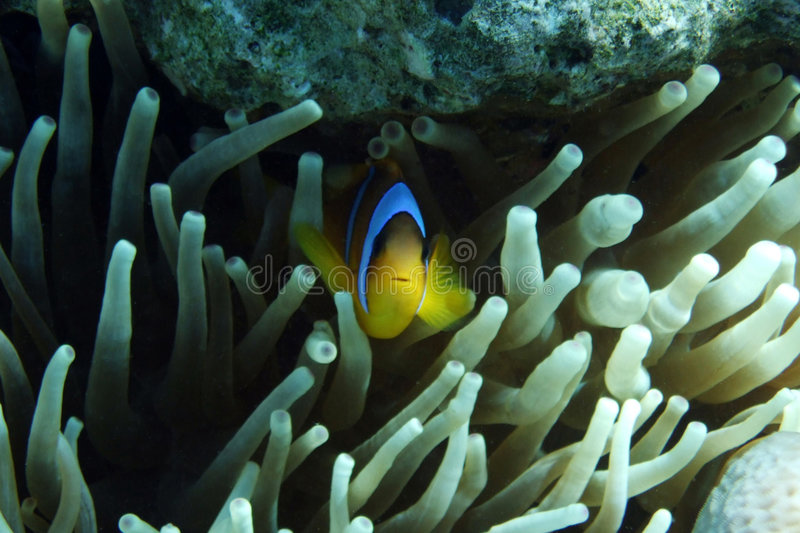 Download Clownfish Hiding In Anemone Stock Photo - Image of hides, water: 3942108