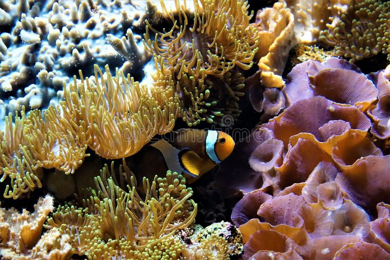 Clownfish hiding between anemones stock photography