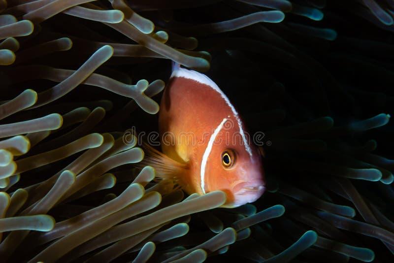 Clownfish i anemon fotografering för bildbyråer
