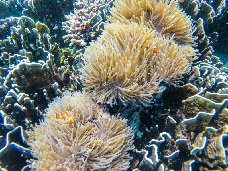 Clownfish i anemonowa kępa przy głaz wyspą obraz stock