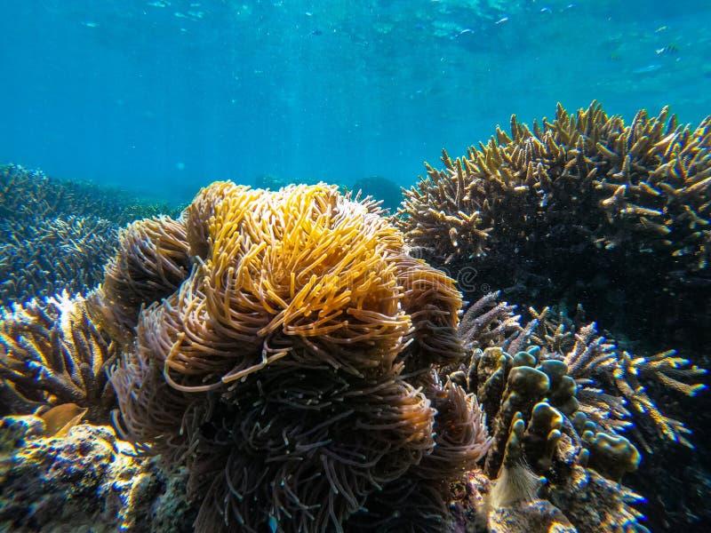 Clownfish i anemonowa kępa przy głaz wyspą obrazy stock