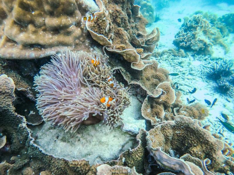 Clownfish i anemonowa kępa przy głaz wyspą zdjęcie stock