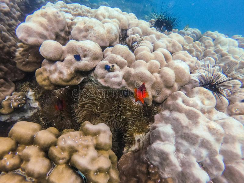 Clownfish i anemonowa kępa przy głaz wyspą obrazy royalty free