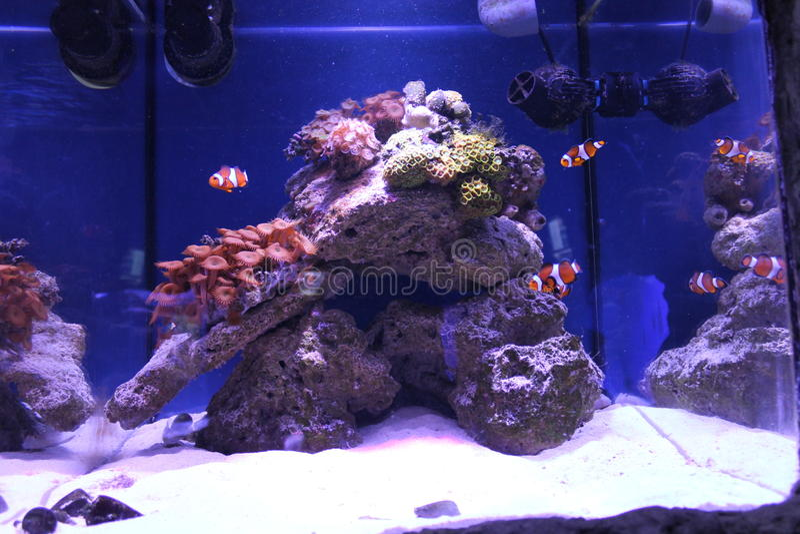 Clownfish i stort havsvattenakvarium royaltyfria bilder