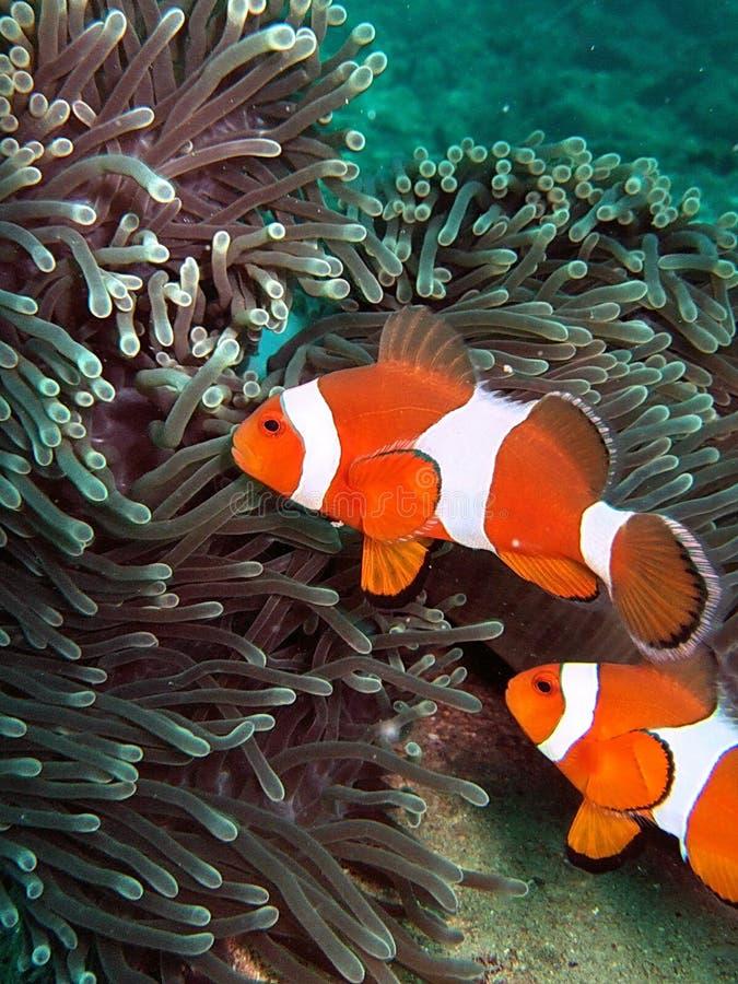 Clownfish in Koraalrif royalty-vrije stock foto