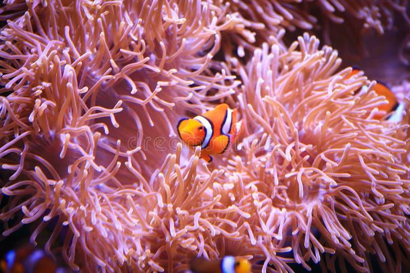 Clownfish lub Amphiprioninae na Dennego anemonu tle zdjęcie royalty free