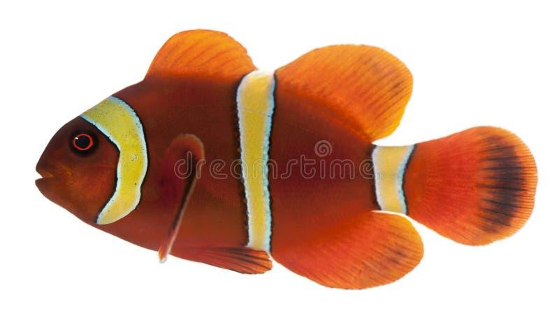 Clownfish Marrone Rossiccio, Biaculeatus Di Premnas Immagini Stock