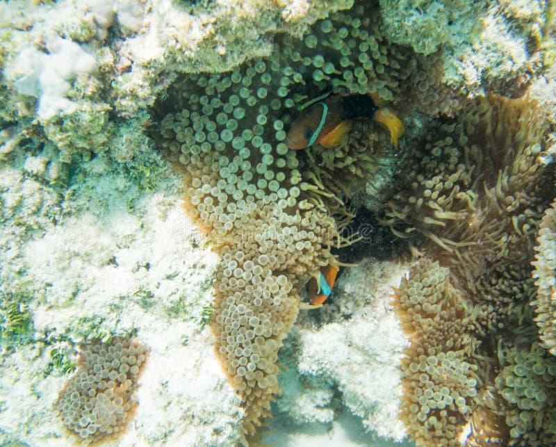 Clownfish na anêmona do recife fotografia de stock royalty free