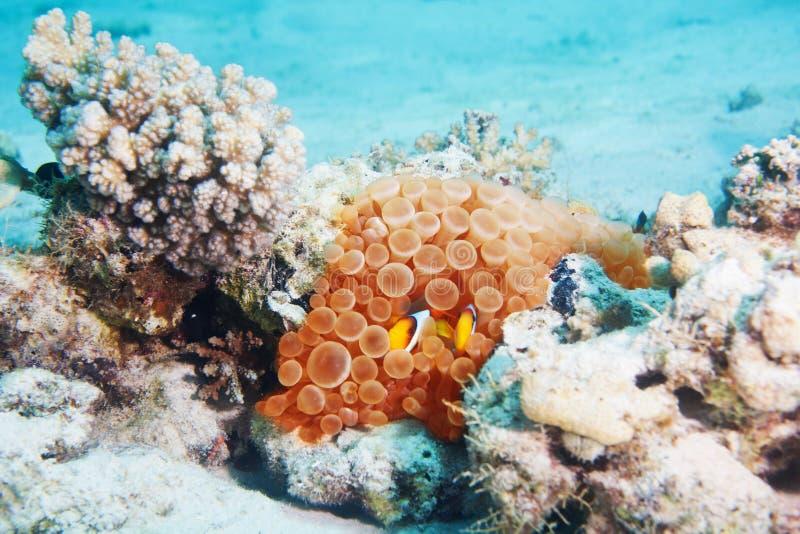 Clownfish nell'immagine subacquea di corallo nel mare immagini stock libere da diritti