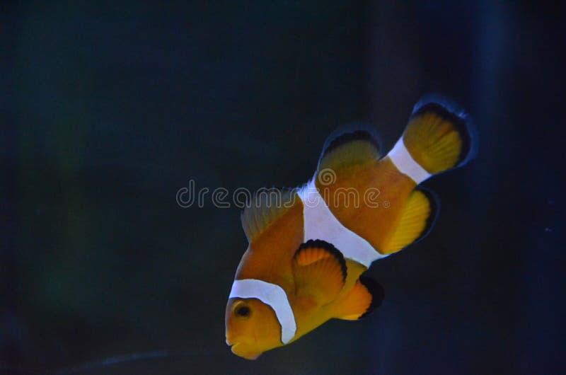 Clownfish Nemo photo stock