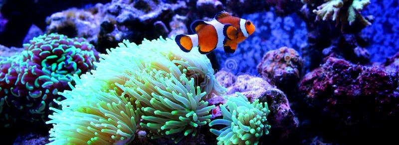 Clownfish nemo in coral reef aquarium stock images
