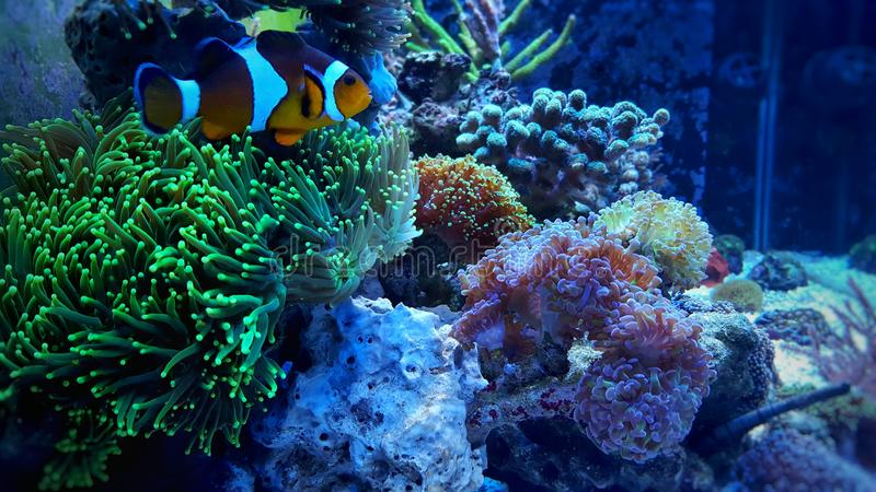 Clownfish nemo on green coral. Ocellaris Clownfish swimming in anemone royalty free stock photography