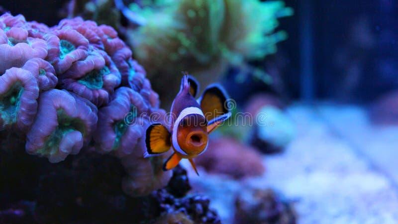 Clownfish nemo in marine tank royalty free stock images