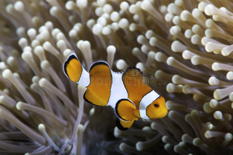 Clownfish no anemone foto de stock royalty free