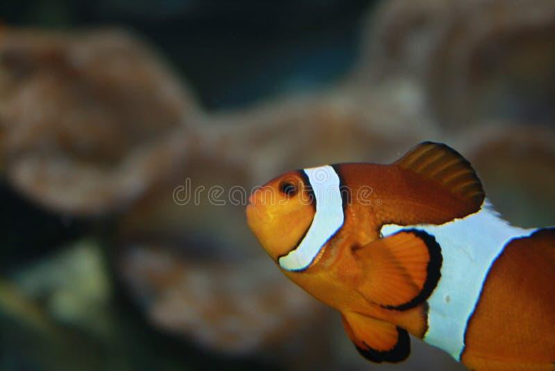 Clownfish no jardim zool?gico foto de stock