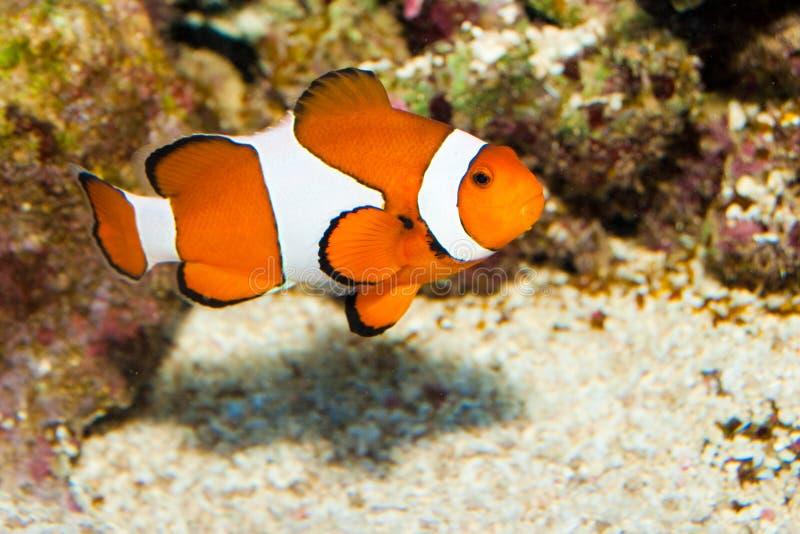 Clownfish Ocellaris photographie stock libre de droits