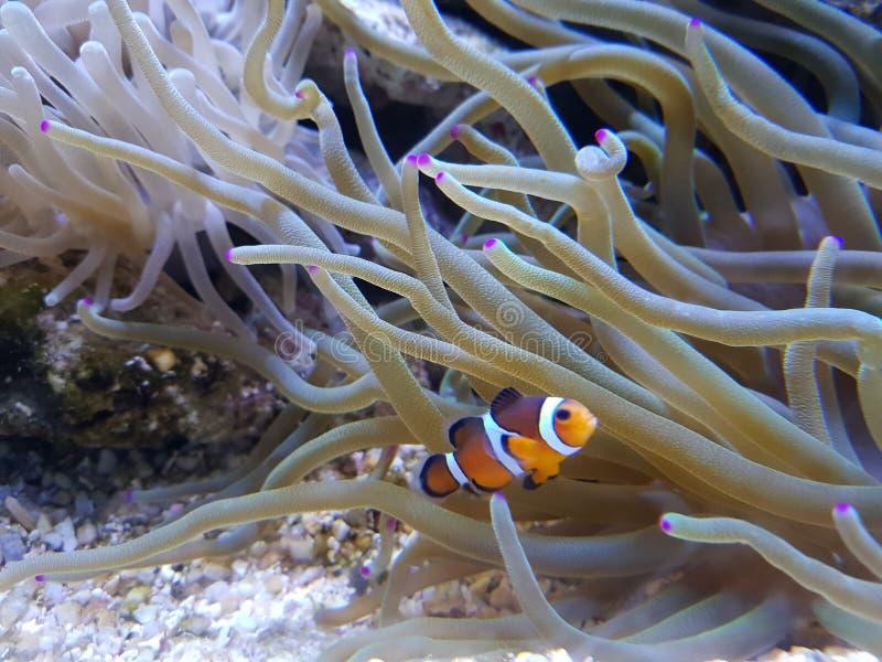 Clownfish och anemon royaltyfri fotografi