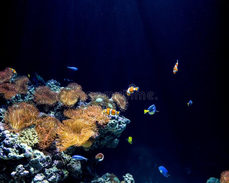 Clownfish och havsanemoner i deras naturliga livsmiljö arkivfoto