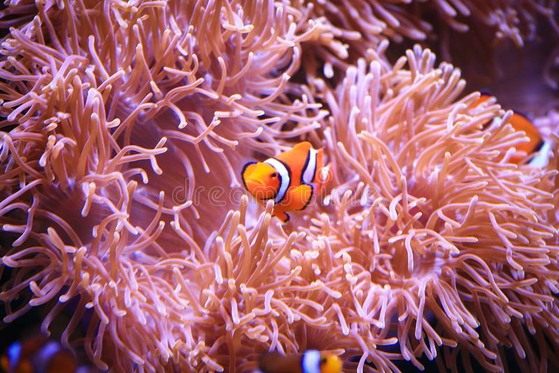Clownfish oder Amphiprioninae auf Seeanemonenhintergrund lizenzfreies stockfoto