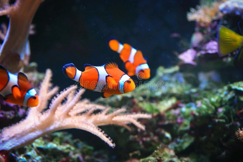 Clownfish ou Amphiprioninae photo stock