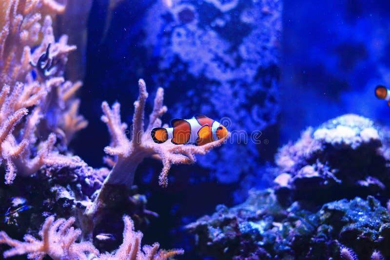 Clownfish ou Anemonefish image stock