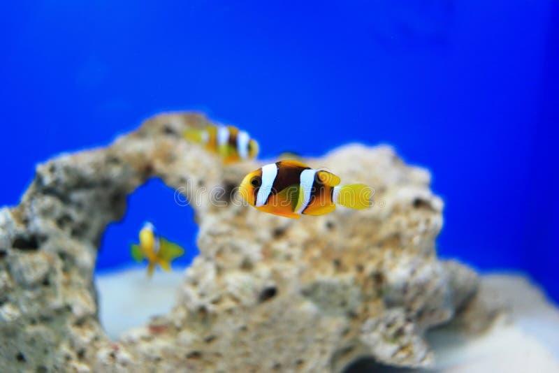 Clownfish ou Anemonefish photo stock