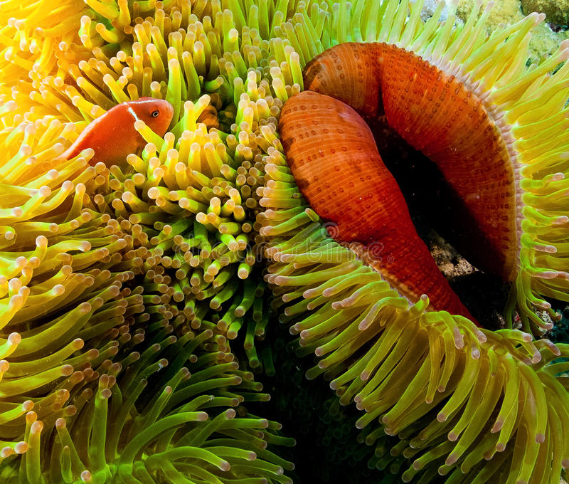 Clownfish, Papua New Guinea. Anemone with clownfish, Papua New Guinea stock photo