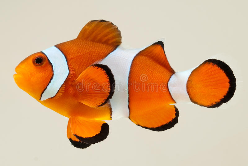 Clownfish Photographed on White Backgroun. Side view of a clown anemone fish isolated on a white background