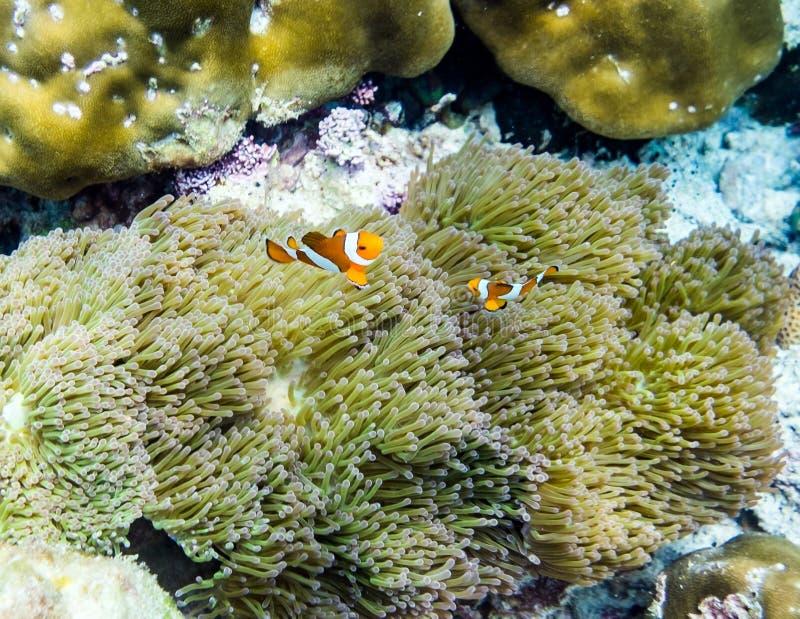 Clownfish que esconde no coral imagens de stock