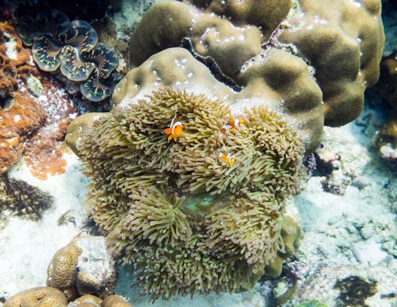 Clownfish que esconde no coral imagens de stock royalty free