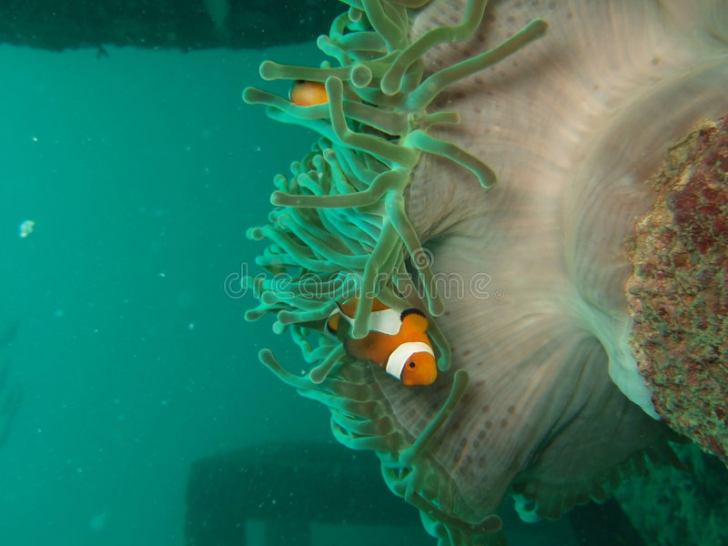 Download Clownfish And Sea Anemone Stock Images - Image: 4640164