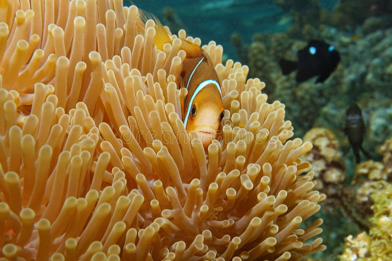 Clownfish in sea anemone tentacles. Tropical fish clownfish Amphiprion chrysopterus, orange-fin anemonefish, hidden in sea anemone tentacles, Pacific ocean, Bora royalty free stock image