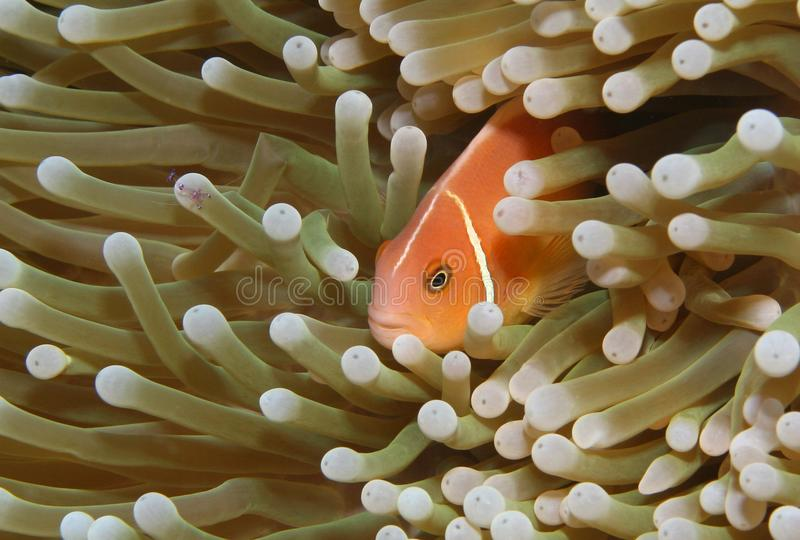 A clownfish and shrimp in a sea anemone. stock image