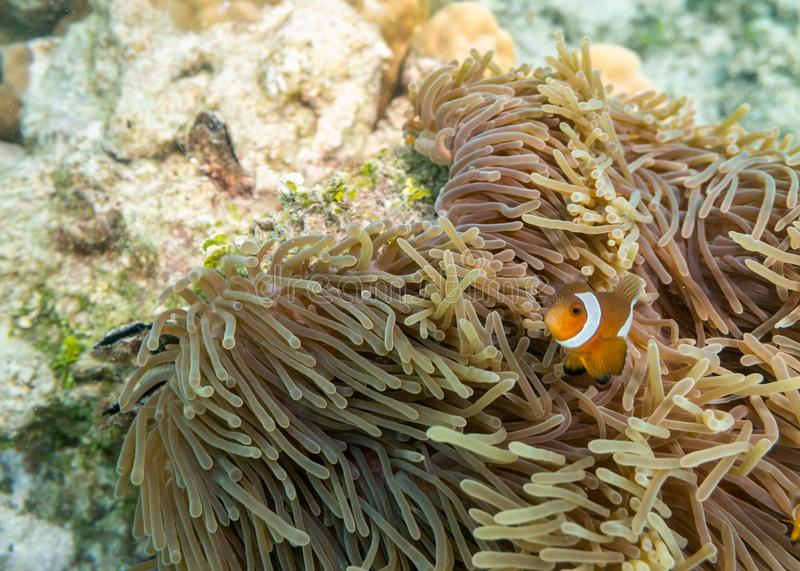 Clownfish swimming in coral reef stock images