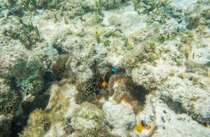 Clownfish tropical em Nova Caledônia Coral Reef fotografia de stock royalty free