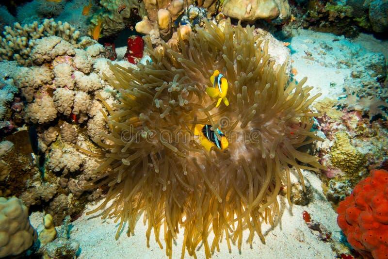 Clownfish utrzymanie w ich dennym anemonie zdjęcia stock
