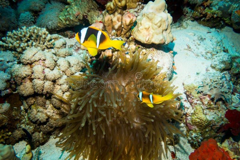 Clownfish utrzymanie w ich dennym anemonie fotografia stock