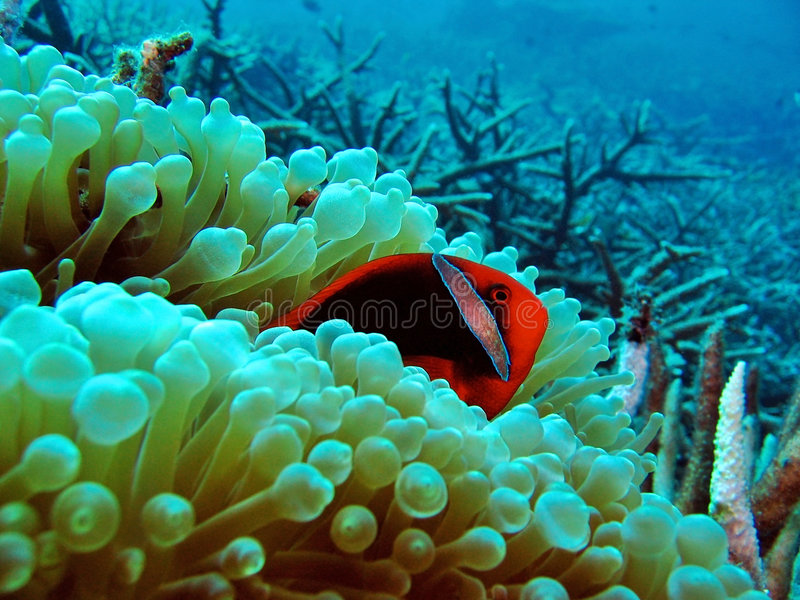 Clownfish vermelho fotos de stock royalty free