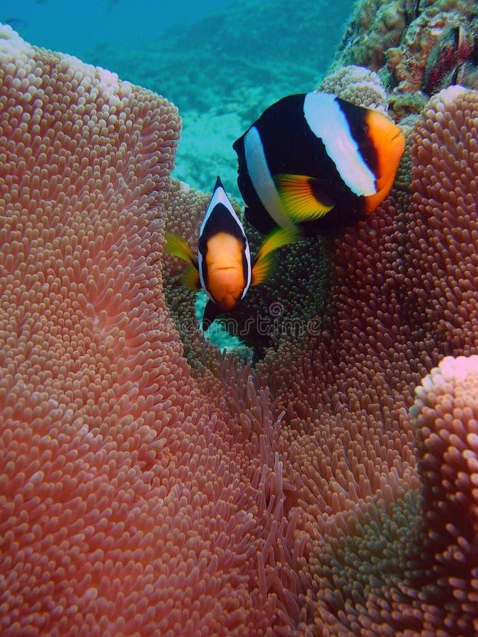 Clownfishe ensemble photo libre de droits