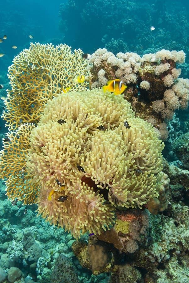 clownfishes ветреницы пышные стоковые изображения rf