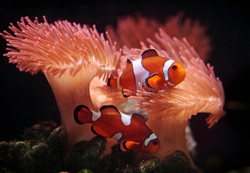 Clownfishes foto de archivo libre de regalías