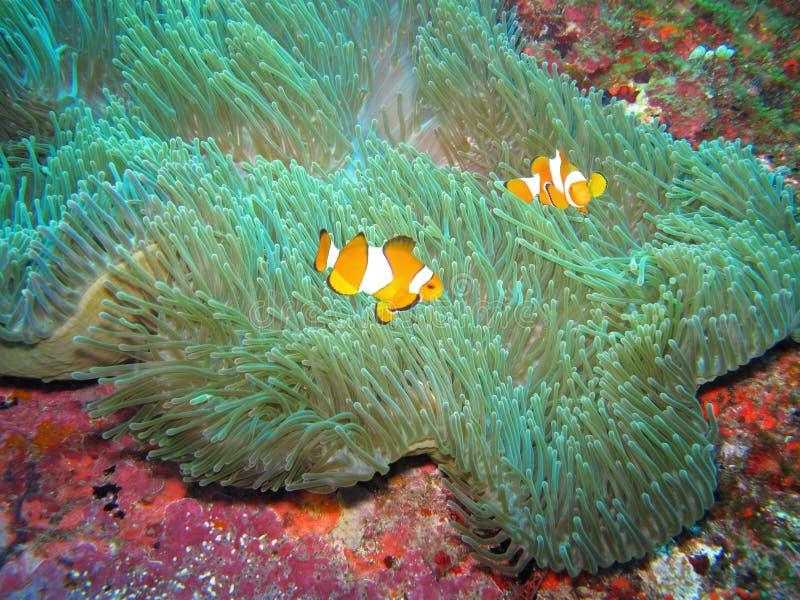 Clownfishes Schwimmen um eine Anemone lizenzfreie stockfotografie