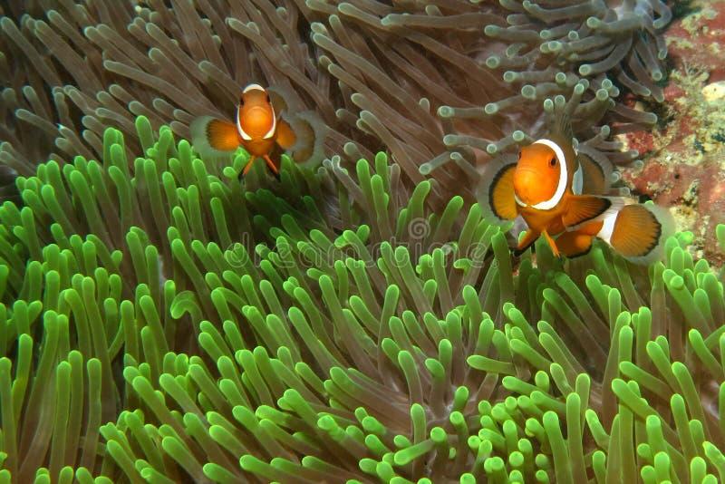 Clownfishes w anemonach zdjęcie royalty free