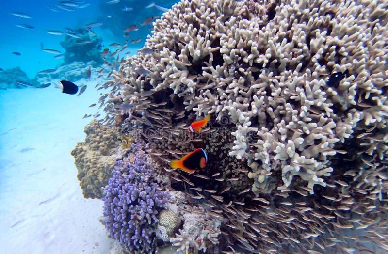 Clownfishkoraal bij het eiland van Okinawa royalty-vrije stock foto