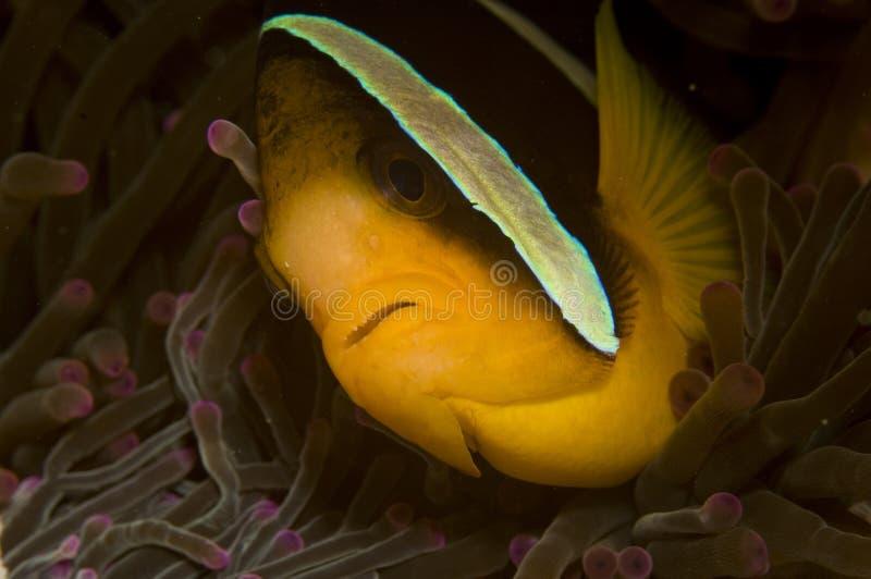 clownfisk royaltyfri fotografi